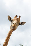 Lächelnde Giraffe u. x28; giraffa& x29; Stockbild