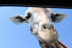 Lächelnde Giraffen-Hauptnahaufnahme Lizenzfreie Stockfotografie