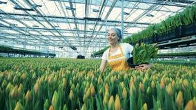 Lächelnde Glashausarbeitskraft wählt Tulpen aus und setzt sie in einen Eimer stock video footage