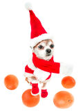 Lächelnde Hundechihuahua in Weihnachtsmann-Kostüm mit den Orangen lokalisiert auf weißem Hintergrund Chinesisches Neujahrsfest 20 Lizenzfreies Stockfoto