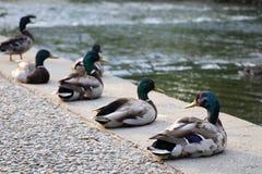 Lächelnde Reihe von Enten Lizenzfreie Stockfotografie