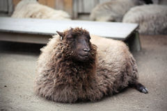 Lächelnde Schafe Stockbilder