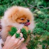 Lächelnde Uhr des Hund-pomeranian Spitz die Abendsonne an der Park ` s Natur Lizenzfreies Stockbild