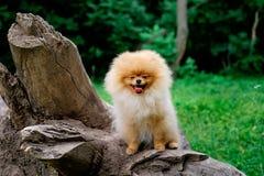 Lächelnde Uhr des Hund-pomeranian Spitz die Abendsonne an der Park ` s Natur Stockfotos