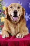 Lächelnder Apportierhund Stockfoto