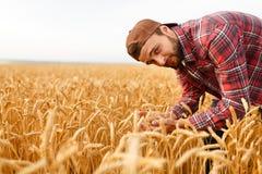 Lächelnder bärtiger Mann, der Ohren des Weizens auf einem Hintergrund ein Weizenfeld hält Glückliche Agronomenlandwirtsorgfalt üb stockbilder