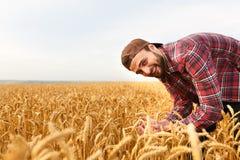 Lächelnder bärtiger Mann, der Ohren des Weizens auf einem Hintergrund ein Weizenfeld hält Glückliche Agronomenlandwirtsorgfalt üb stockfotografie