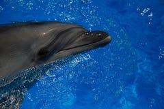Lächelnder Delphin Delphinschwimmen Lizenzfreie Stockfotografie