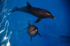 Lächelnder Delphin Delphinschwimmen Lizenzfreie Stockbilder