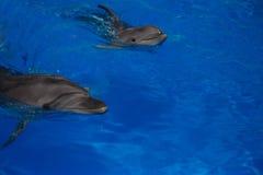 Lächelnder Delphin Delphinschwimmen Lizenzfreies Stockfoto