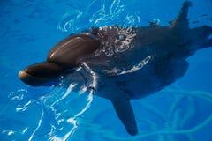 Lächelnder Delphin Delphinschwimmen Stockbilder
