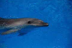 Lächelnder Delphin Delphinschwimmen Stockfoto