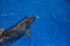 Lächelnder Delphin Delphinschwimmen Lizenzfreie Stockfotos