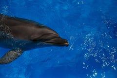 Lächelnder Delphin Delphinschwimmen Stockfotografie