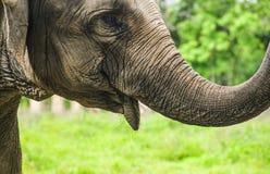 Lächelnder Elefant Lizenzfreie Stockbilder