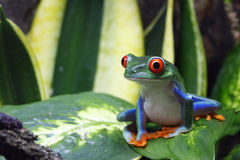 Lächelnder Frosch Stockfoto