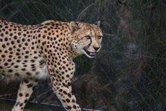 Lächelnder Gepard stockbild