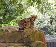 Lächelnder Gepard Stockfoto
