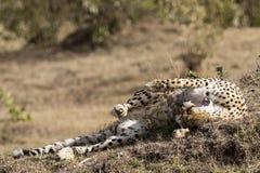 Lächelnder Gepard im Ruhezustand Stockfotos