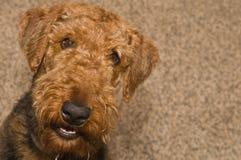 Lächelnder glücklicher Airedaleterrierhund lizenzfreies stockfoto
