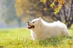 Lächelnder glücklicher Samoyedhund stockfotos