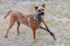Lächelnder Hund, der mit einem Steuerknüppel spielt Stockbilder