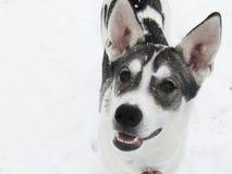 Lächelnder Husky Dog im Schnee lizenzfreie stockfotos