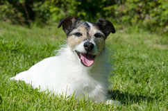 Lächelnder Jack Russell Terrier lizenzfreie stockfotos