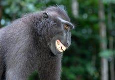 Lächelnder Makaken Celebes erklommen Makaken, alias erklomm der schwarze Makaken mit Haube, Sulawesi Makaken oder den schwarzen A stockfoto