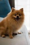 Lächelnder Nahaufnahmehund-pomeranian Spitz, selektiver Fokus Stockfoto