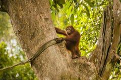 Lächelnder Orang-Utan, der Dschungel-Überwachung im riesigen Baum tut Lizenzfreie Stockfotografie