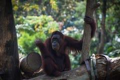 Lächelnder Orang-Utan sitzt allein auf dem Baum Stockbild
