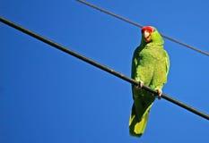 Lächelnder Papagei lizenzfreie stockbilder