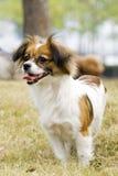 lächelnder Papillon Hund Stockfotografie