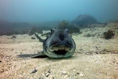 Lächelnder Port-Jackson-Stierkopfhai Lizenzfreies Stockfoto