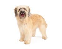 Lächelnder Pyrenean Schäfer Dog Standing Lizenzfreie Stockfotos