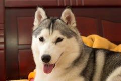 Lächelnder Schlittenhund Lizenzfreies Stockbild