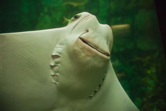 Lächelnder Stingray Lizenzfreie Stockfotos