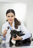 Lächelnder Tierarzt-Examining Bulldog With-Otoscope Stockfotografie
