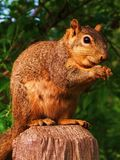 Lächelndes Eichhörnchen Stockbild