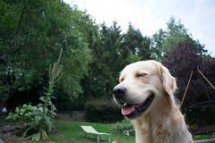 L?chelndes golden retriever im Garten lizenzfreie stockfotos