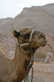 Lächelndes Kamel Lizenzfreie Stockfotos