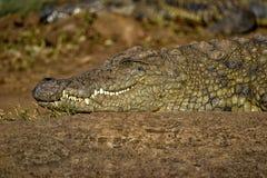 Lächelndes Krokodil in Südafrika stockfotos