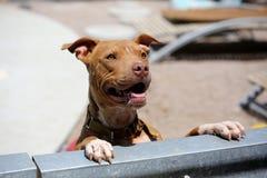 Lächelndes pitbull, das über dem Zaun schaut Lizenzfreies Stockfoto
