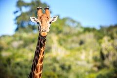Lächelndes Porträt der Giraffe auf einer Savanne Stockbild