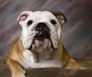 Lächelndes Portrait der englischen Bulldogge Stockfotografie