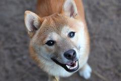 Lächelndes Shiba Inu Stockfoto