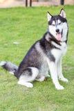 Lächelndes und sitzendes Porträt des sibirischen Huskys Stockfoto