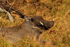 Lächelndes warthog stockfoto