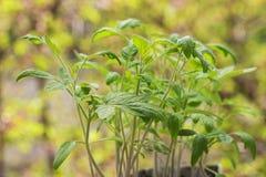 Läcker grön plantatomatcloseup Fotografering för Bildbyråer